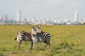 istock Zebras in Nairobi National Park 1051511244