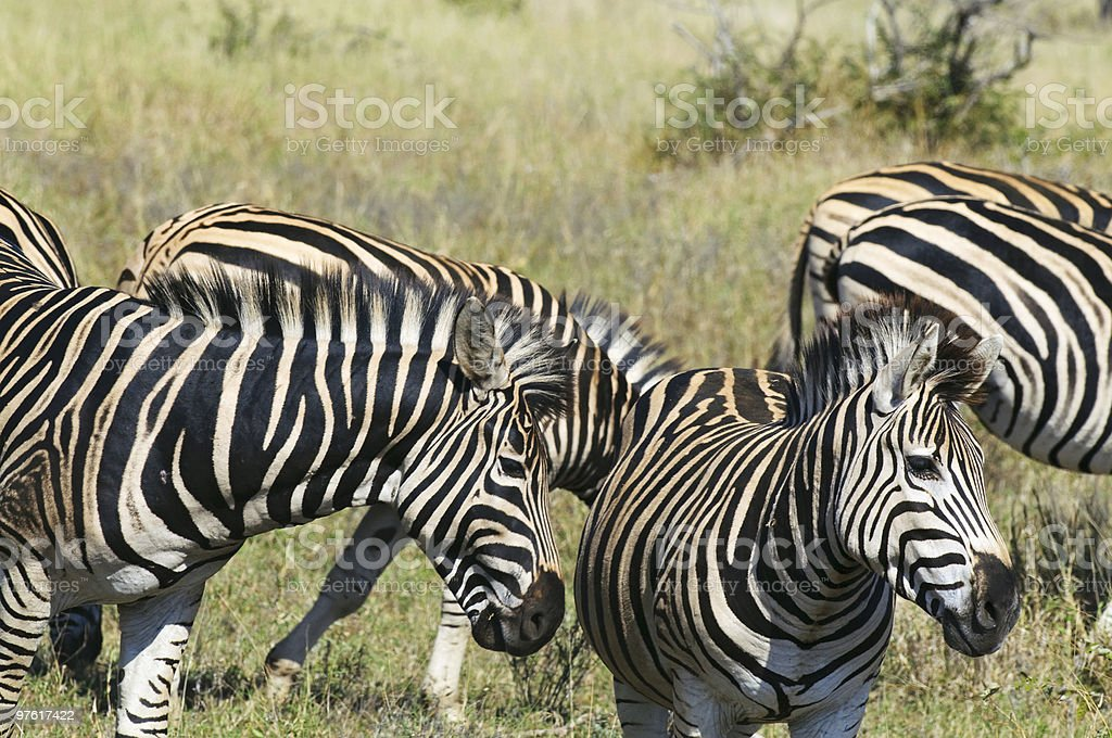 Zebras in South Africa royalty-free stock photo