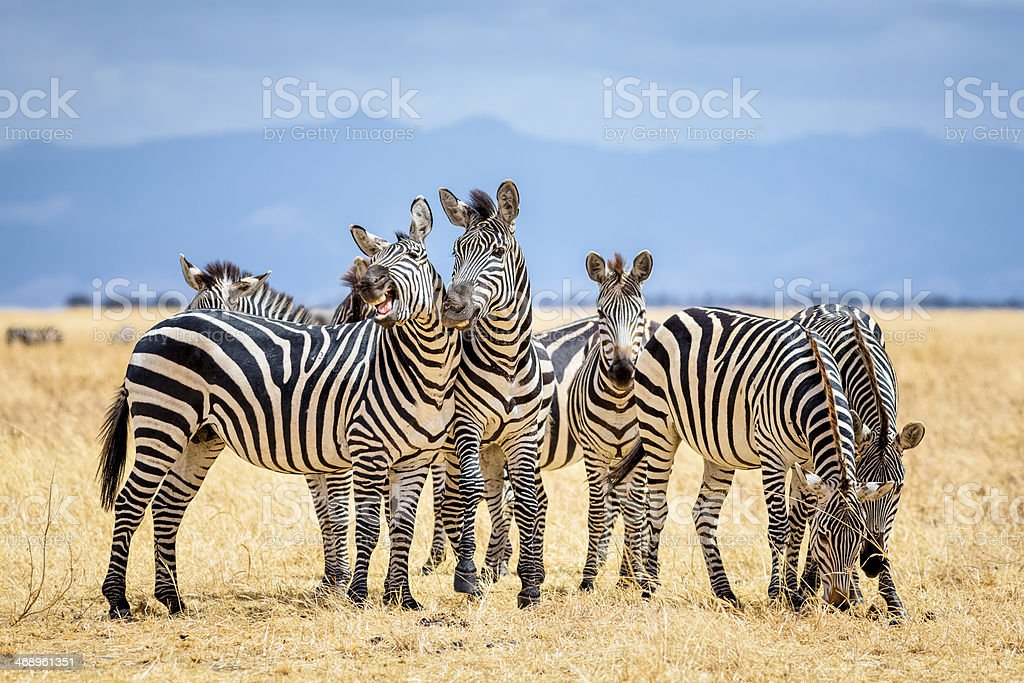 Zebras in Tarangire National Park / Tanzania stock photo