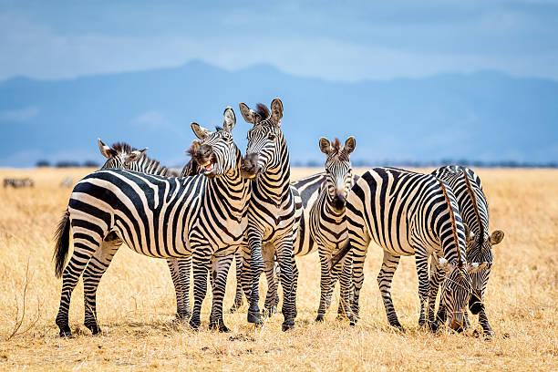 zebras im tarangire-nationalpark, tansania - afrikanische steppe dürre stock-fotos und bilder
