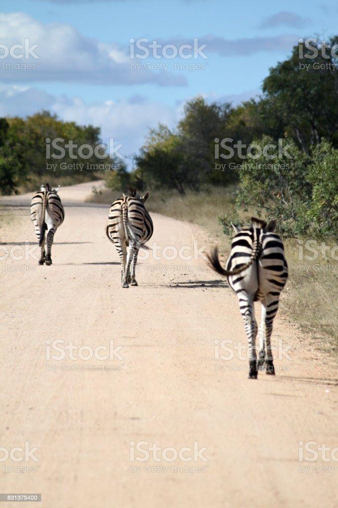 Zebras in the Kruger National Park stock photo