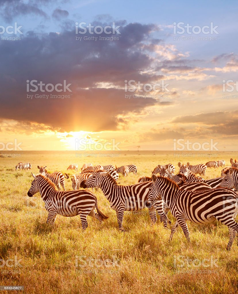 Zebras in the morning stock photo