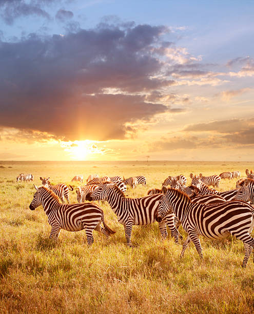 zebras in the morning - safari stock photos and pictures