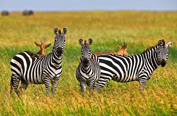 zebras in die serengeti - safari tiere stock-fotos und bilder