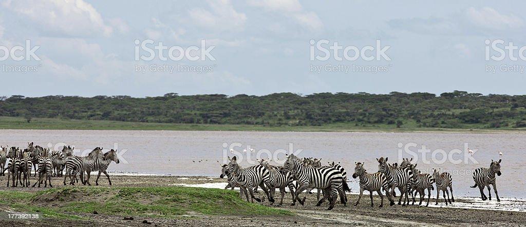 Zebras in the Serengeti royalty-free stock photo