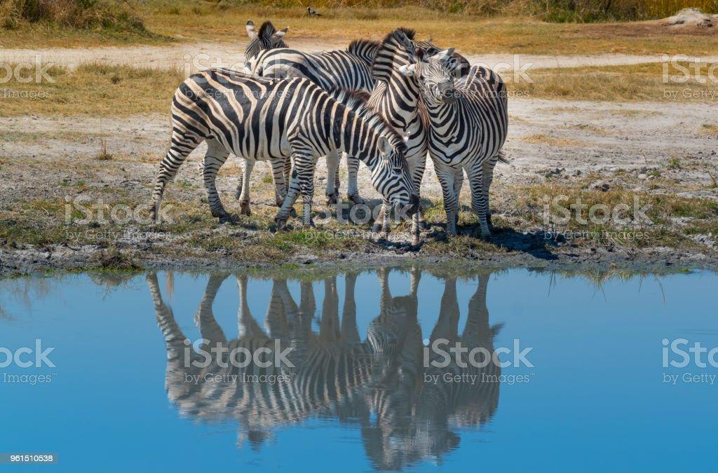 Zebras In The Wild stock photo