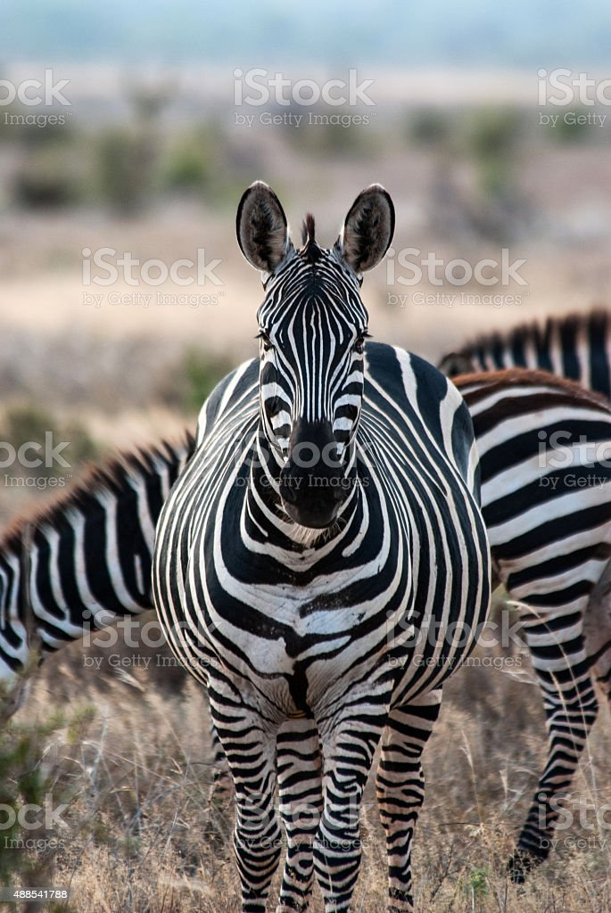 Zebras in Tsavo East National Park stock photo