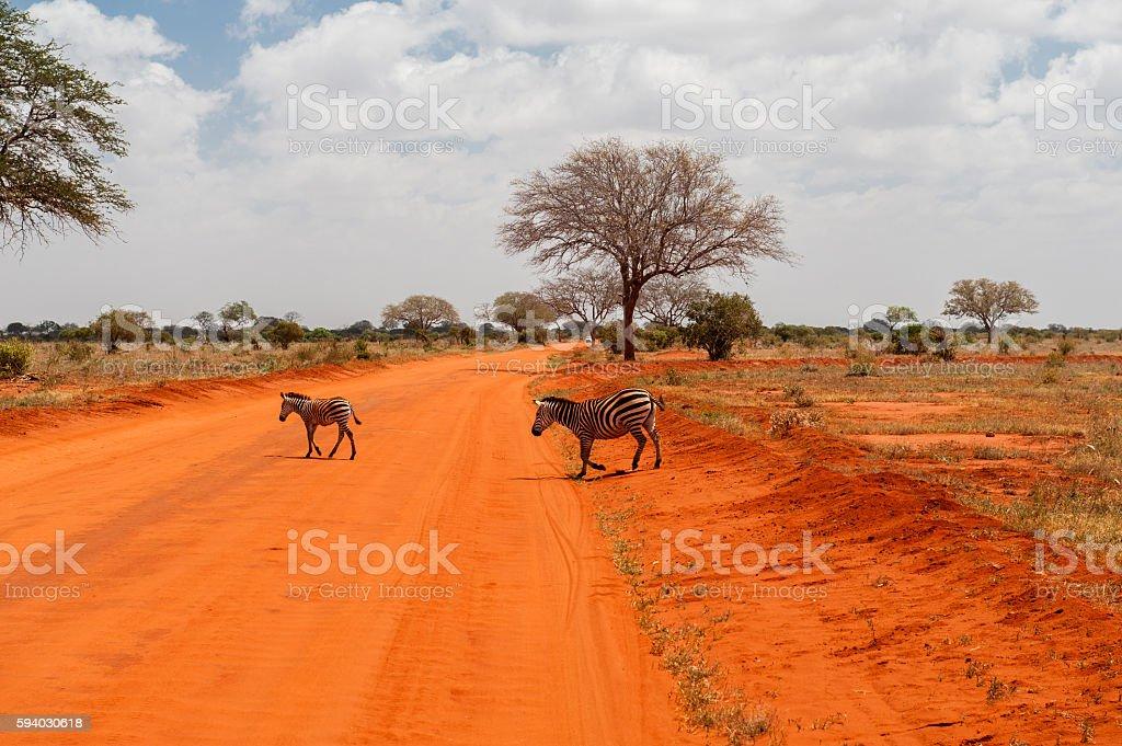 Zebras in Tsavo East National Park stock photo