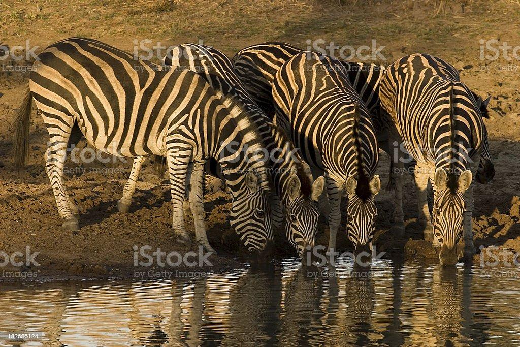 Zebras just before Sunset stock photo