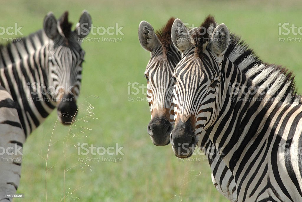 Zebras looking at camera stock photo