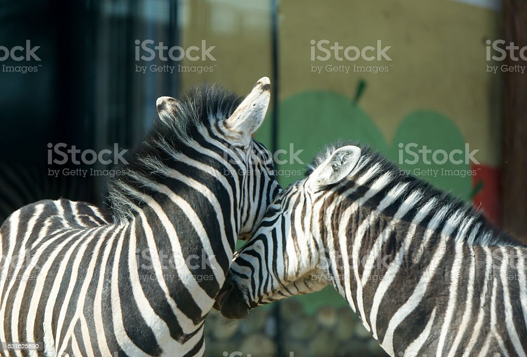 Zebras, love and tenderness. stock photo