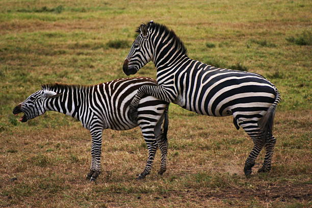 Royalty Free Zebras Mating Pictures Images And Stock Photos Istock