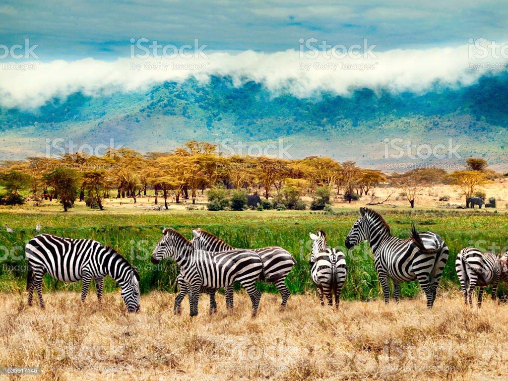 Zebras of Ngorongoro crater stock photo