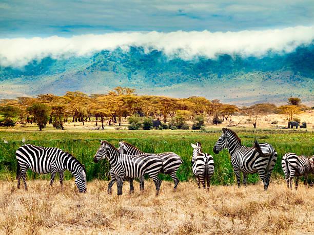 Zebras of Ngorongoro crater Zebras of Ngorongoro crater. Tanzania, Africa. ngorongoro conservation area stock pictures, royalty-free photos & images