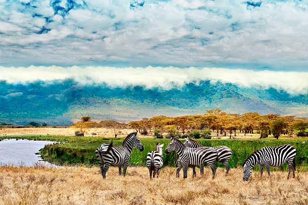 Zebras of Ngorongoro crater Zebras of Ngorongoro crater. Tanzania, Africa. tanzania stock pictures, royalty-free photos & images