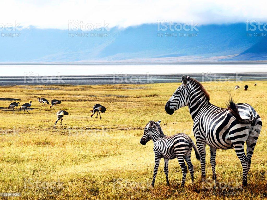 Zebras of Ngorongoro stock photo