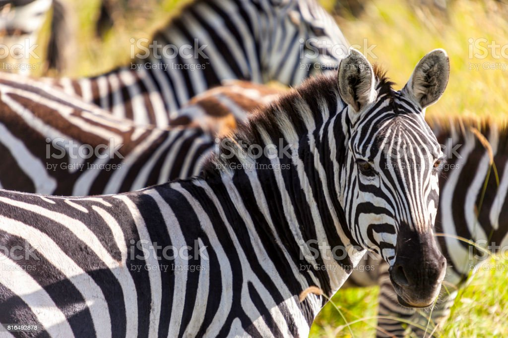 Zebras on grassland  -  Tanzania Safari stock photo
