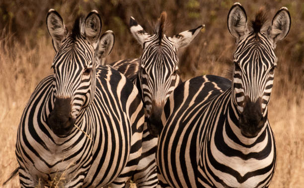 Zebras on lookout! stock photo