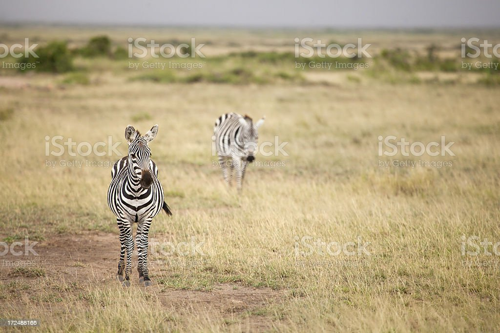 Zebras on the Plains stock photo