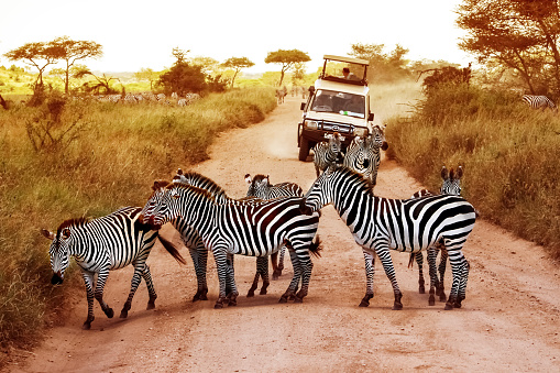 Zebra and her cub crossing the road in Serengeti National Park (Tanzania).