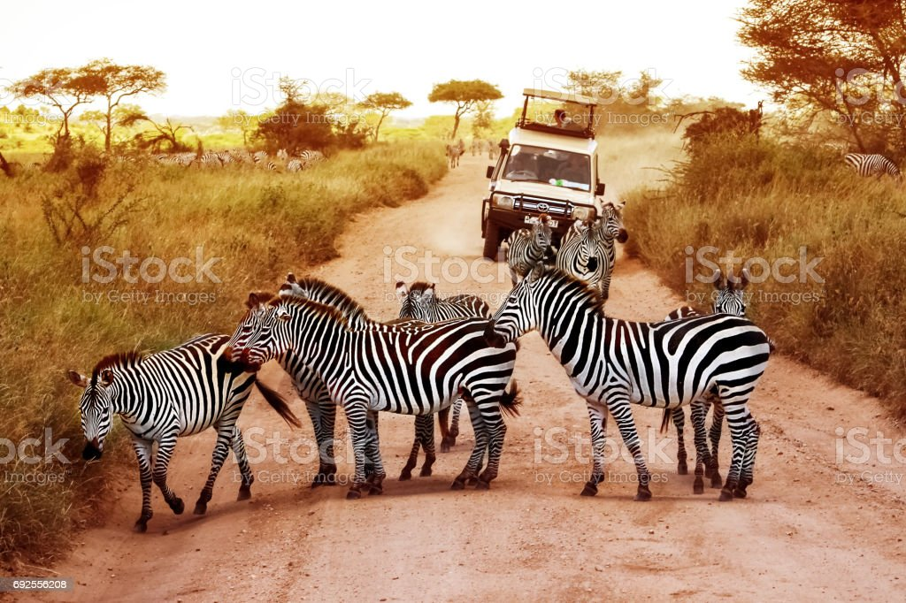 Africa, Tanzania, Serengeti - February 2016: Zebras on the road in Serengeti national park in front of the jeep with tourists. stock photo