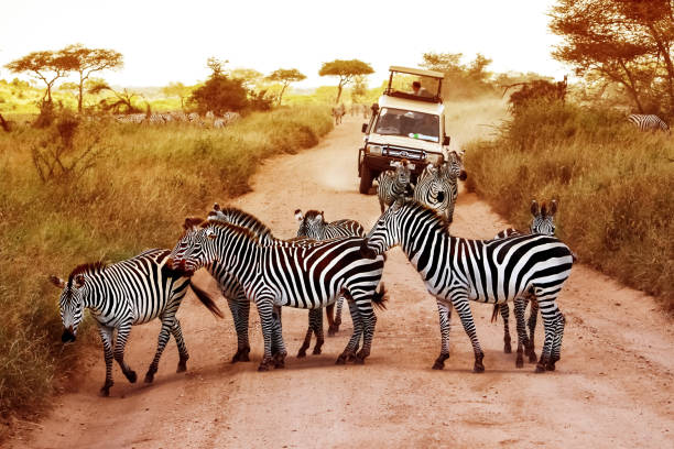 africa, tanzania, serengeti - february 2016: zebras on the road in serengeti national park in front of the jeep with tourists. - safari stock photos and pictures