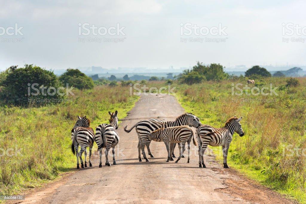 Zebras on the Road stock photo