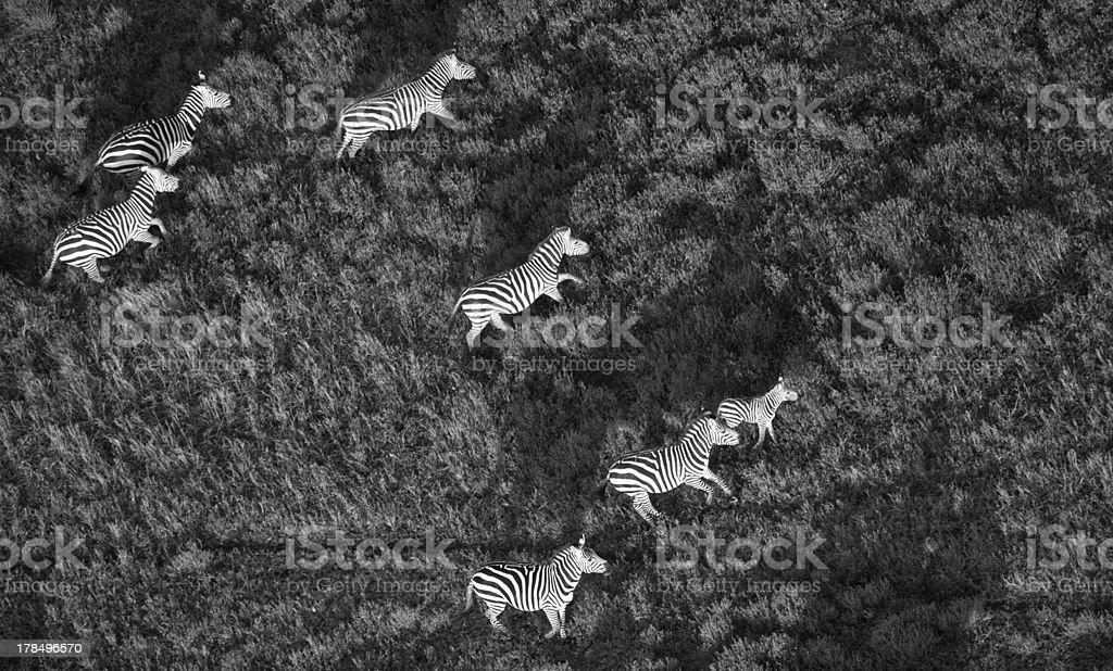 Zebras on The Savannah royalty-free stock photo