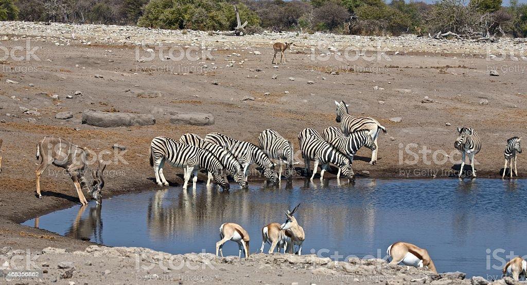 Zebras royalty-free stock photo