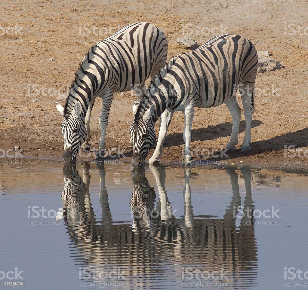 Zebras  Lizenzfreies stock-foto