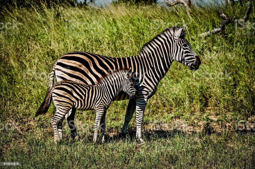 Zebras stock photo