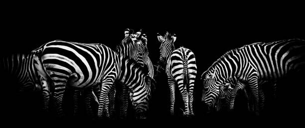 Zebras  – Foto