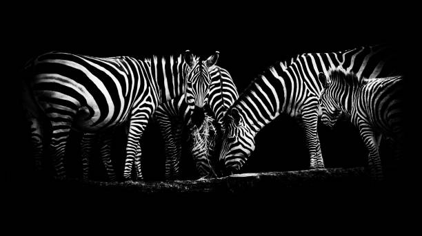 zebras - padrões zebra imagens e fotografias de stock