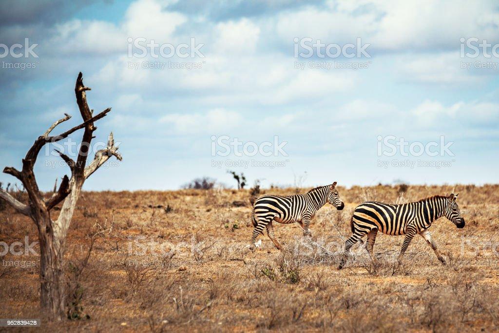 Zebre stock photo