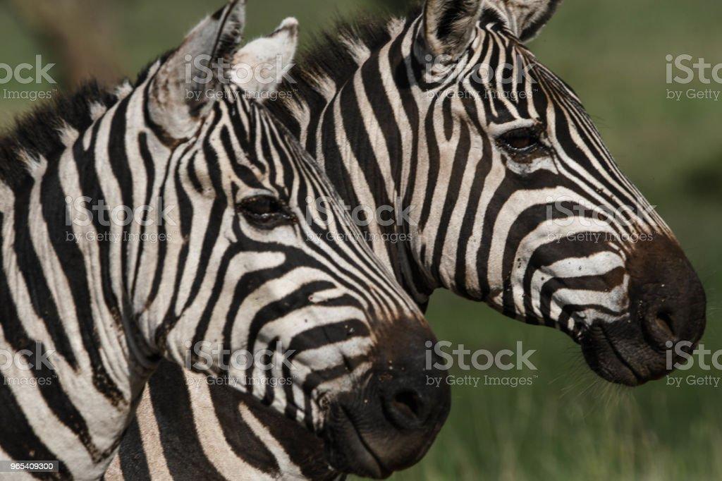 Zebras zbiór zdjęć royalty-free