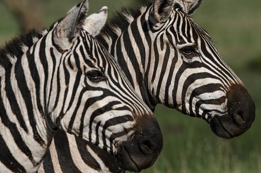 斑馬 照片檔及更多 在野外的野生動物 照片