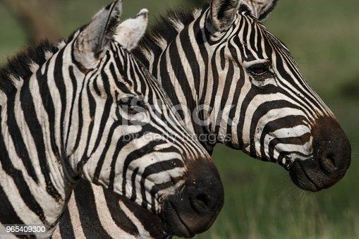 Zebras - Stockowe zdjęcia i więcej obrazów Dzikie zwierzęta