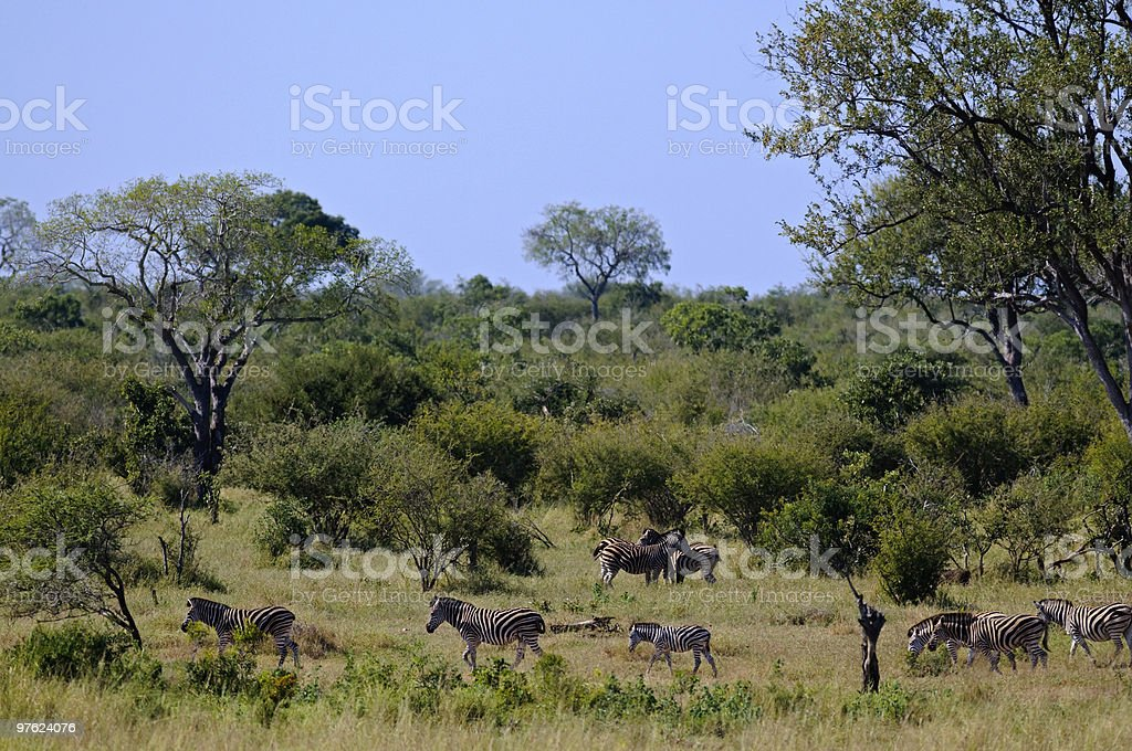 Zebras royalty-free stock photo
