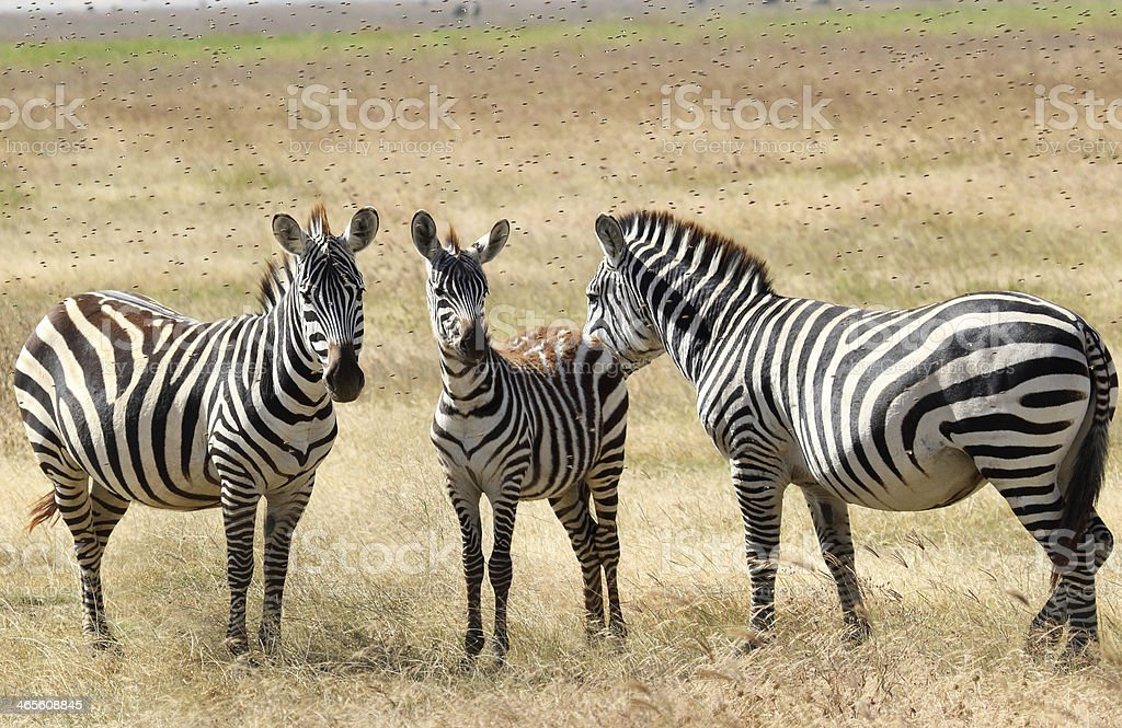 Zebras plagued by horseflies royalty-free stock photo