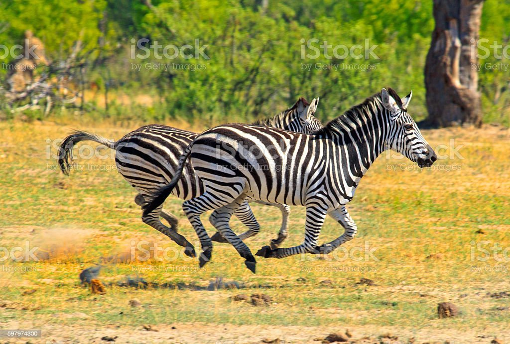 Zebras running on the open plains in Victoria Falls Grounds stock photo