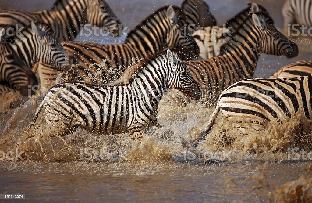 Zebras Running Through Water Zebras Running Through...