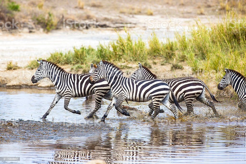 Zebras runs in the water stock photo