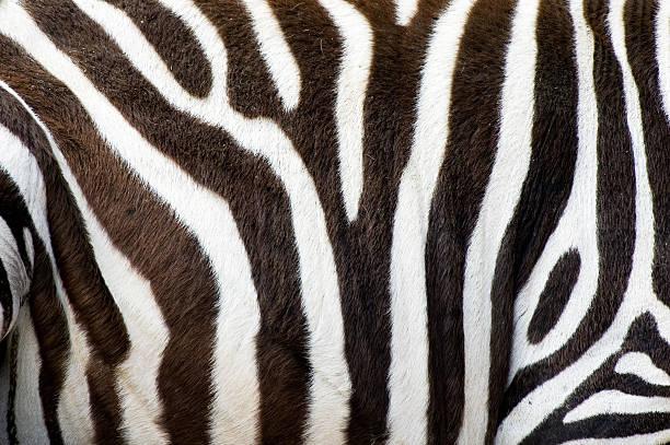 zebras de pele - padrões zebra imagens e fotografias de stock