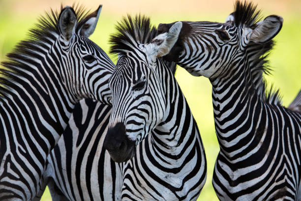 zebras socialising and kissing - zebra stock photos and pictures