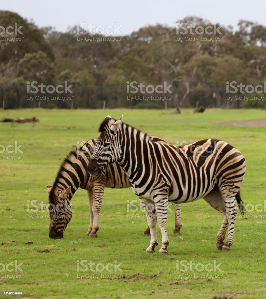 Zebras two standing royalty-free stock photo