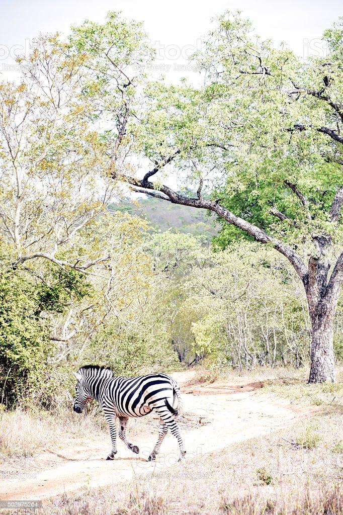 Zebras walking in Sabi Sands Game Reserve stock photo