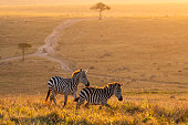 Zebras walking peacefully at golden magical light during sunrise in Mara triangle