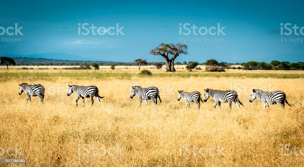 When moving from one location to another, zebras always walk in line,...