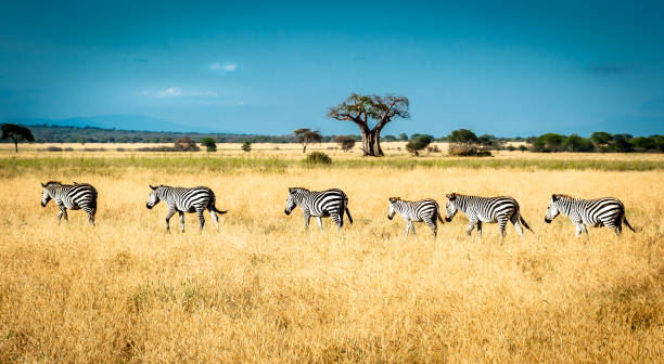 Zebras walking the line When moving from one location to another, zebras always walk in line, one after the other. ngorongoro conservation area stock pictures, royalty-free photos & images