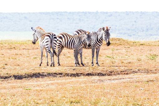 Zebras - watching against the Carnivores at Masai Mara Savannah